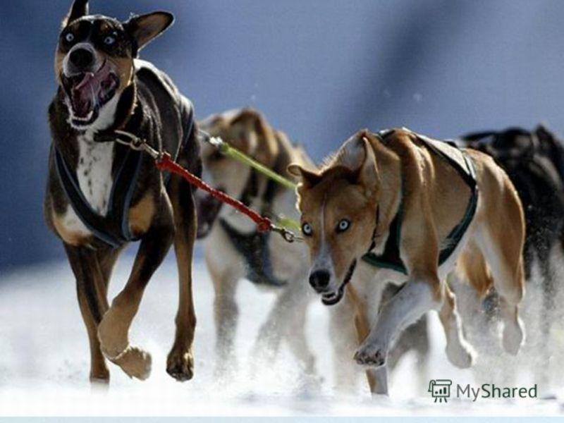 Объекты подмножества обязательно обладают всеми признаками объектов множества (наследуют признаки множества) и кроме них имеют еще свой, дополнительный признак (или несколько признаков). Собаки Ездовые собаки