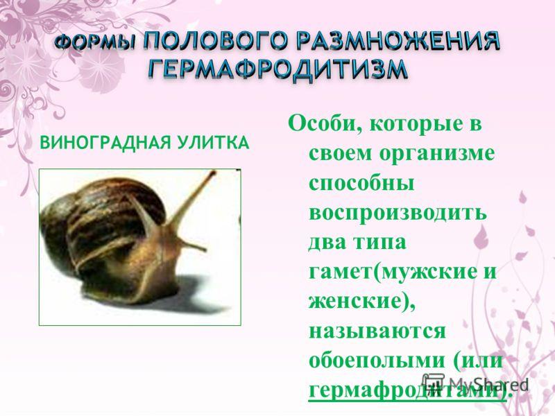 ВИНОГРАДНАЯ УЛИТКА Особи, которые в своем организме способны воспроизводить два типа гамет(мужские и женские), называются обоеполыми (или гермафродитами).