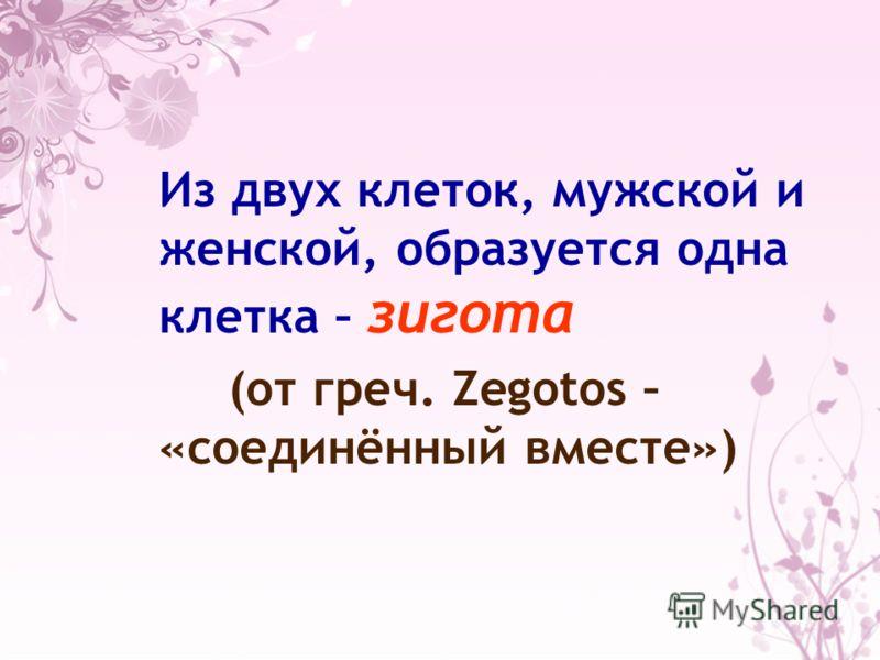 Из двух клеток, мужской и женской, образуется одна клетка – зигота (от греч. Zegotos – «соединённый вместе»)