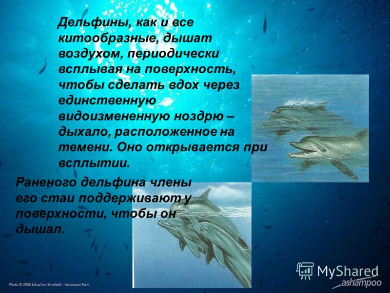Раненого дельфина члены его стаи поддерживают у поверхности, чтобы он дышал. Дельфины, как и все китообразные, дышат воздухом, периодически всплывая на поверхность, чтобы сделать вдох через единственную видоизмененную ноздрю – дыхало, расположенное н