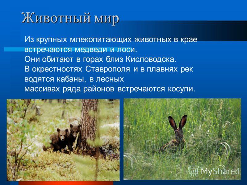 Животный мир Из крупных млекопитающих животных в крае встречаются медведи и лоси. Они обитают в горах близ Кисловодска. В окрестностях Ставрополя и в плавнях рек водятся кабаны, в лесных массивах ряда районов встречаются косули.