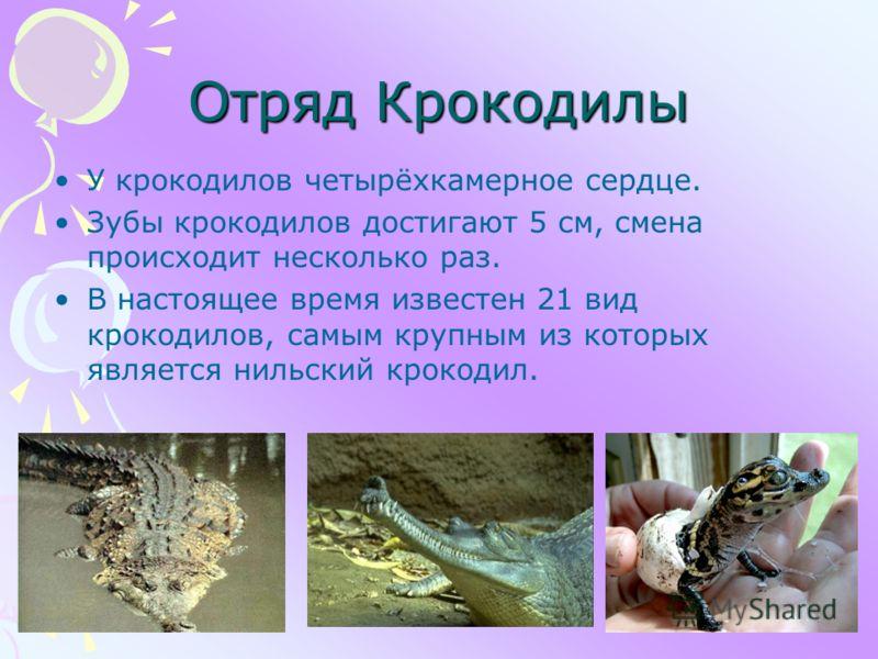 Отряд Крокодилы У крокодилов четырёхкамерное сердце. Зубы крокодилов достигают 5 см, смена происходит несколько раз. В настоящее время известен 21 вид крокодилов, самым крупным из которых является нильский крокодил.
