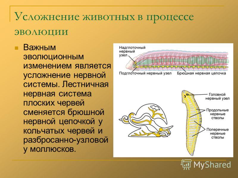 Усложнение животных в процессе эволюции Важным эволюционным изменением является усложнение нервной системы. Лестничная нервная система плоских червей сменяется брюшной нервной цепочкой у кольчатых червей и разбросанно-узловой у моллюсков.