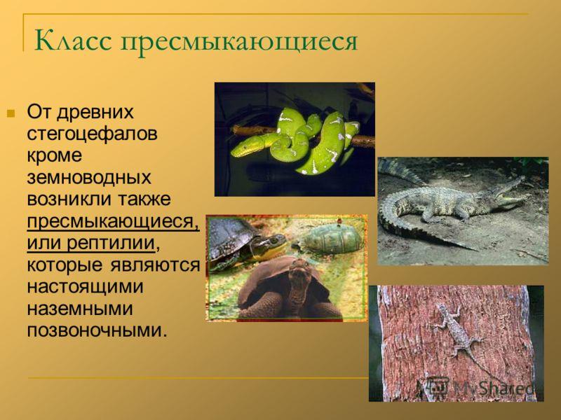 Класс пресмыкающиеся От древних стегоцефалов кроме земноводных возникли также пресмыкающиеся, или рептилии, которые являются настоящими наземными позвоночными.