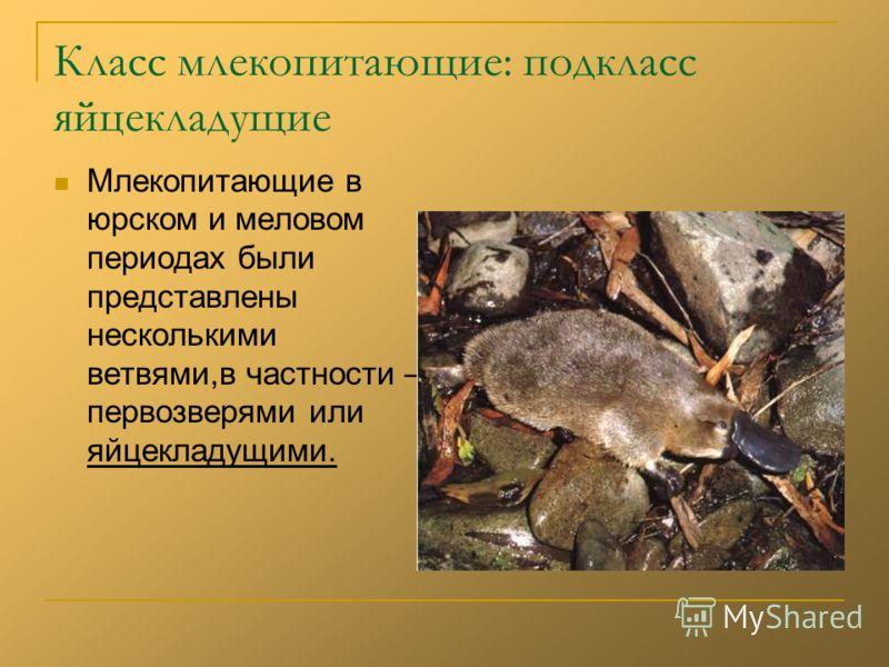 Класс млекопитающие: подкласс яйцекладущие Млекопитающие в юрском и меловом периодах были представлены несколькими ветвями,в частности – первозверями или яйцекладущими.