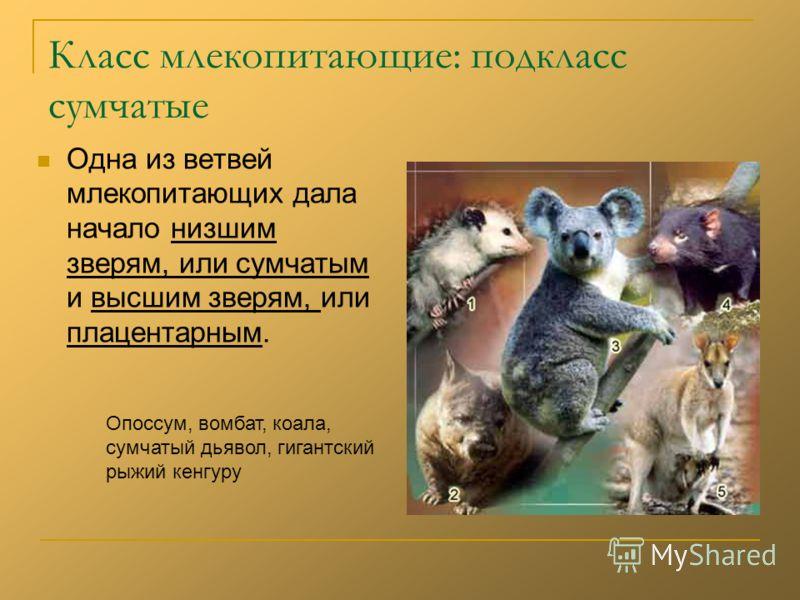 Класс млекопитающие: подкласс сумчатые Одна из ветвей млекопитающих дала начало низшим зверям, или сумчатым и высшим зверям, или плацентарным. Опоссум, вомбат, коала, сумчатый дьявол, гигантский рыжий кенгуру