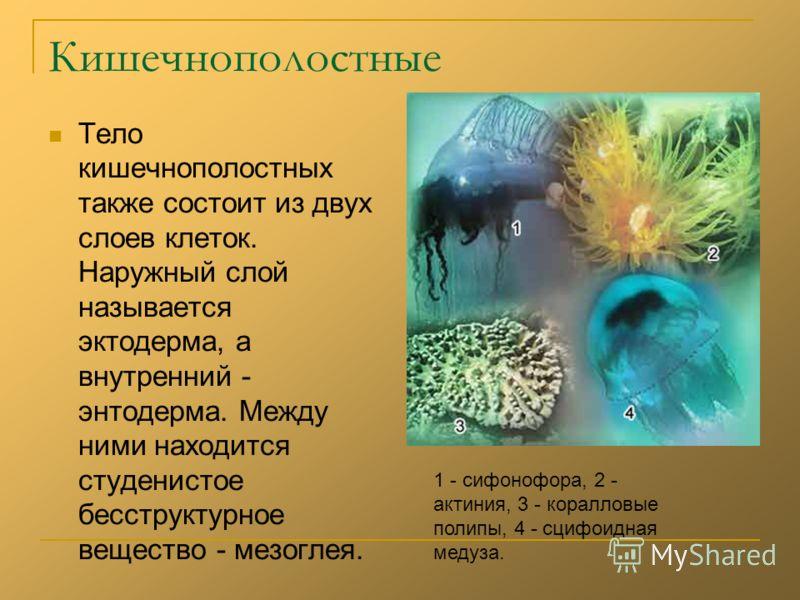 Кишечнополостные Тело кишечнополостных также состоит из двух слоев клеток. Наружный слой называется эктодерма, а внутренний - энтодерма. Между ними находится студенистое бесструктурное вещество - мезоглея. 1 - сифонофора, 2 - актиния, 3 - коралловые