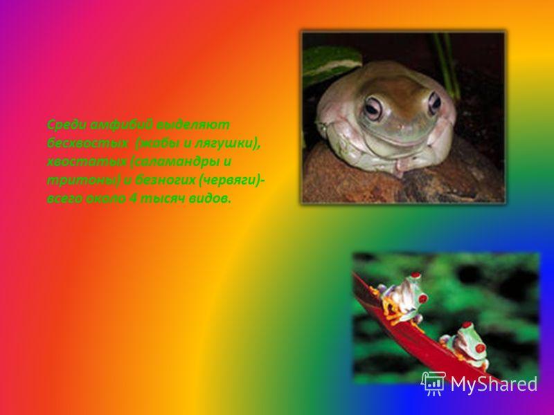Среди амфибий выделяют бесхвостых (жабы и лягушки), хвостатых (саламандры и тритоны) и безногих (червяги)- всего около 4 тысяч видов.