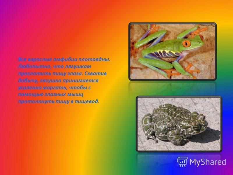 Все взрослые амфибии плотоядны. Любопытно, что лягушкам проглотить пищу глаза. Схватив добычу, лягушка принимается усиленно моргать, чтобы с помощью глазных мышц протолкнуть пищу в пищевод.