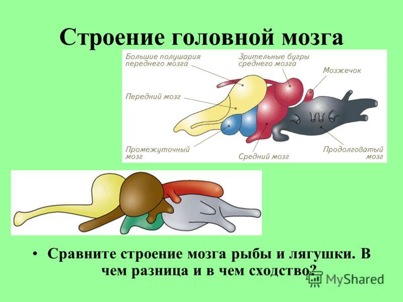 Строение головной мозга Сравните строение мозга рыбы и лягушки. В чем разница и в чем сходство?