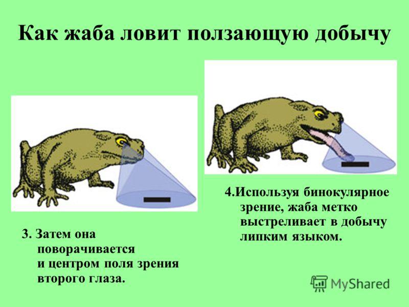 Как жаба ловит ползающую добычу 3. Затем она поворачивается и центром поля зрения второго глаза. 4.Используя бинокулярное зрение, жаба метко выстреливает в добычу липким языком.