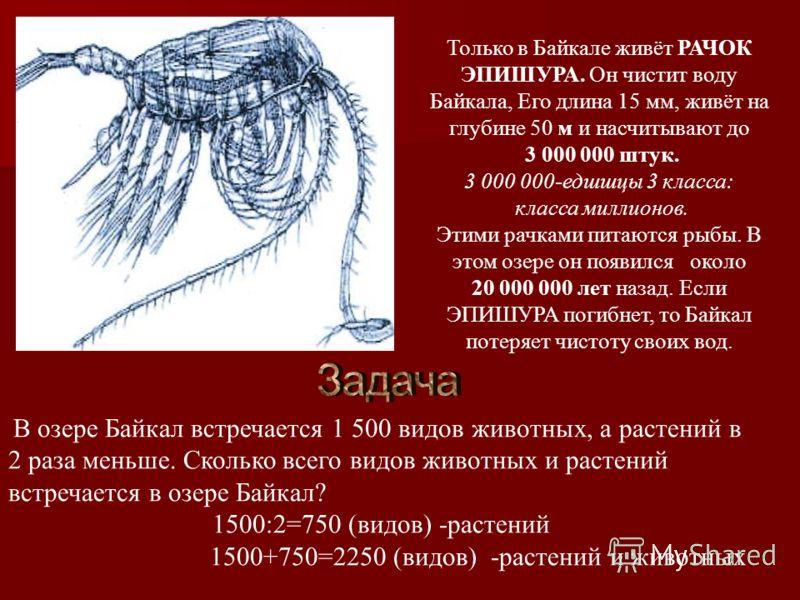 Только в Байкале живёт РАЧОК ЭПИШУРА. Он чистит воду Байкала, Его длина 15 мм, живёт на глубине 50 м и насчитывают до 3 000 000 штук. 3 000 000-едшшцы