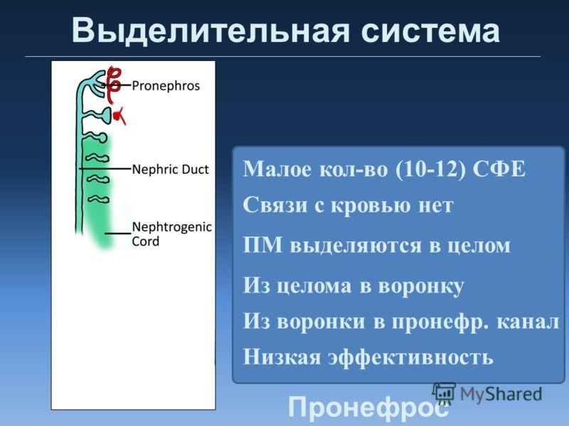 Выделительная система Малое кол-во (10-12) СФЕ ПМ выделяются в целом Связи с кровью нет Низкая эффективность Из целома в воронку Из воронки в пронефр. канал Пронефрос