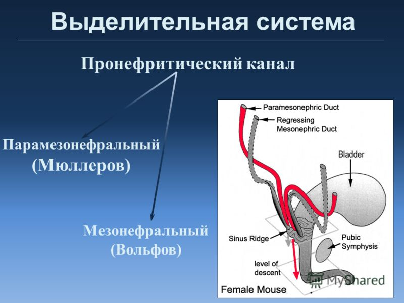 Выделительная система Парамезонефральный (Мюллеров) Мезонефральный (Вольфов) Пронефритический канал