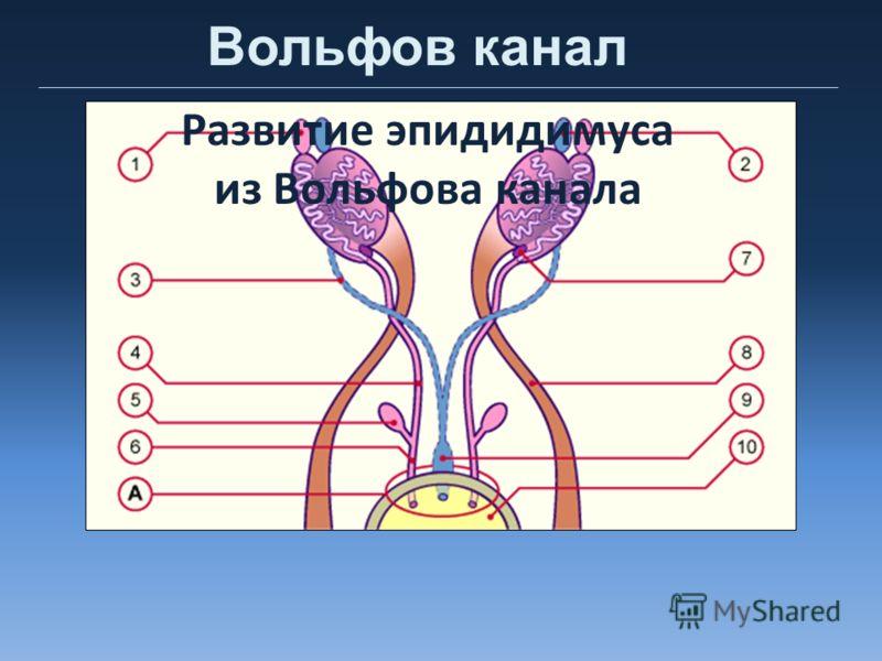 Вольфов канал Развитие эпидидимуса из Вольфова канала