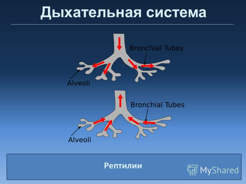 Дыхательная система Рептилии