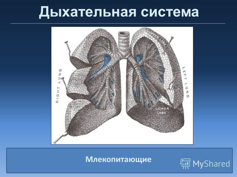 Дыхательная система Млекопитающие