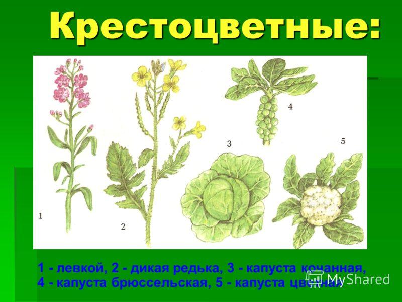 Крестоцветные: 1 - левкой, 2 - дикая редька, 3 - капуста кочанная, 4 - капуста брюссельская, 5 - капуста цветная