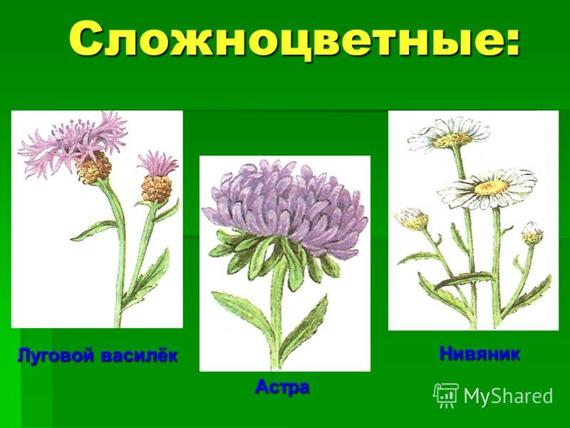 Сложноцветные: Луговой василёк Астра Нивяник