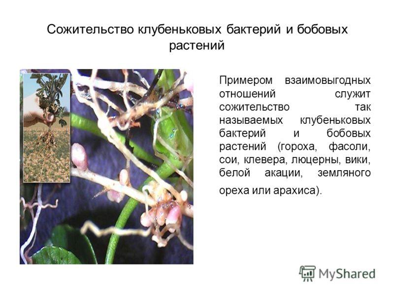 Сожительство клубеньковых бактерий и бобовых растений Примером взаимовыгодных отношений служит сожительство так называемых клубеньковых бактерий и бобовых растений (гороха, фасоли, сои, клевера, люцерны, вики, белой акации, земляного ореха или арахис