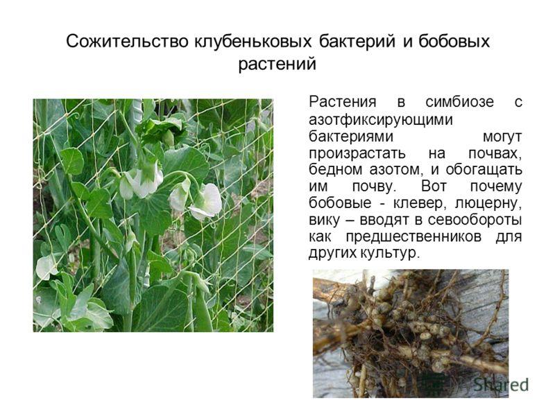 Сожительство клубеньковых бактерий и бобовых растений Растения в симбиозе с азотфиксирующими бактериями могут произрастать на почвах, бедном азотом, и обогащать им почву. Вот почему бобовые - клевер, люцерну, вику – вводят в севообороты как предшеств