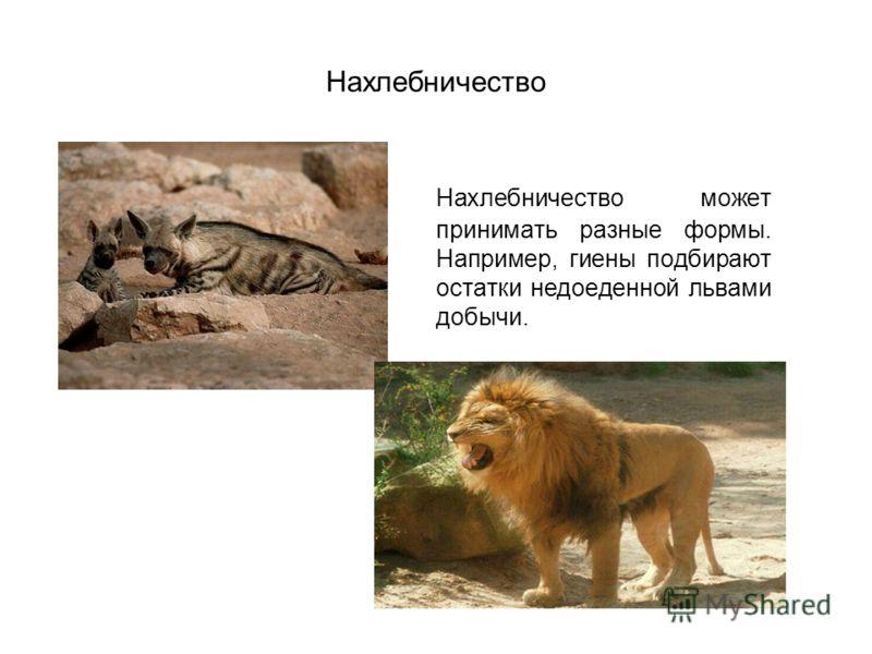 Нахлебничество Нахлебничество может принимать разные формы. Например, гиены подбирают остатки недоеденной львами добычи.