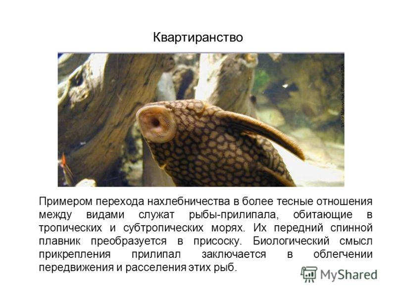 Квартиранство Примером перехода нахлебничества в более тесные отношения между видами служат рыбы-прилипала, обитающие в тропических и субтропических морях. Их передний спинной плавник преобразуется в присоску. Биологический смысл прикрепления прилипа