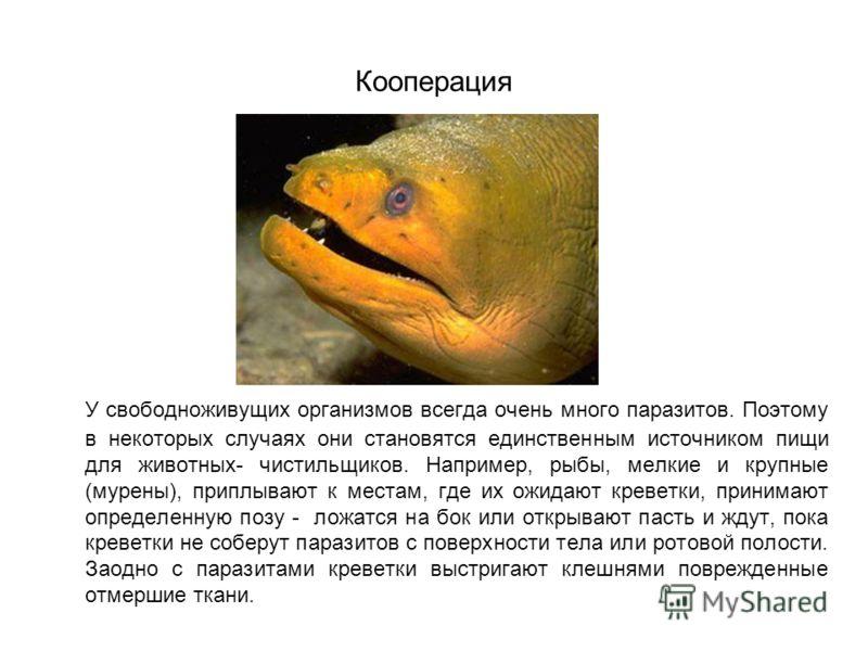 Кооперация У свободноживущих организмов всегда очень много паразитов. Поэтому в некоторых случаях они становятся единственным источником пищи для животных- чистильщиков. Например, рыбы, мелкие и крупные (мурены), приплывают к местам, где их ожидают к