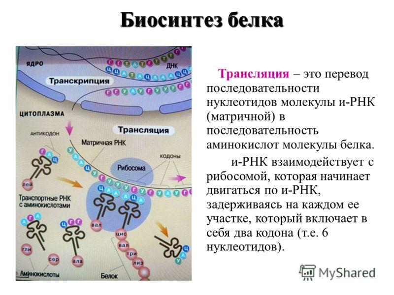 Биосинтез белка Биосинтез белка Трансляция – это перевод последовательности нуклеотидов молекулы и-РНК (матричной) в последовательность аминокислот молекулы белка. и-РНК взаимодействует с рибосомой, которая начинает двигаться по и-РНК, задерживаясь н