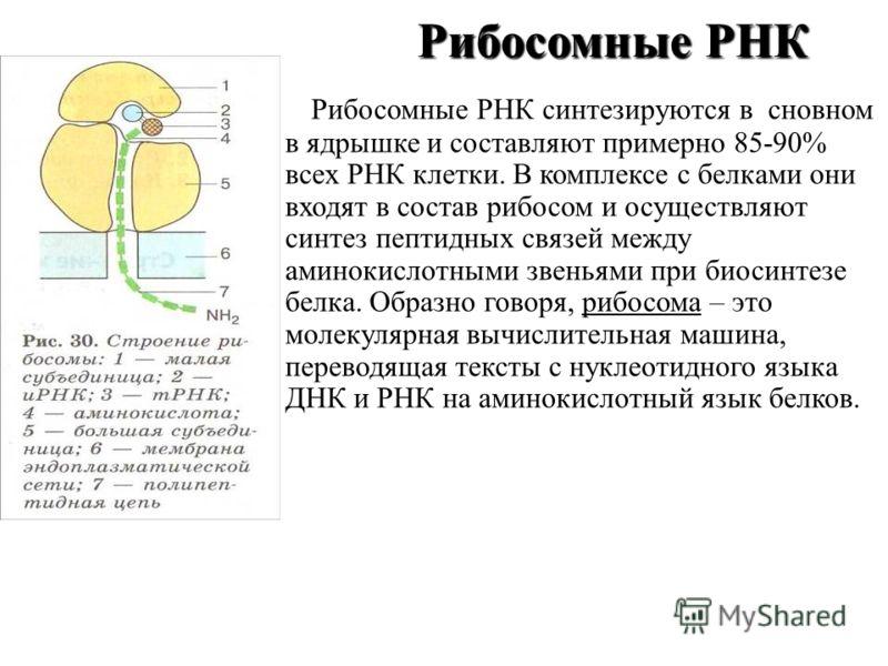 Рибосомные РНК Рибосомные РНК Рибосомные РНК синтезируются в сновном в ядрышке и составляют примерно 85-90% всех РНК клетки. В комплексе с белками они входят в состав рибосом и осуществляют синтез пептидных связей между аминокислотными звеньями при б