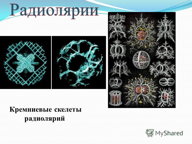 Кремниевые скелеты радиолярий