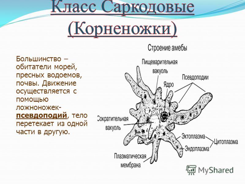 Большинство – обитатели морей, пресных водоемов, почвы. Движение осуществляется с помощью ложноножек- псевдоподий, тело перетекает из одной части в другую.