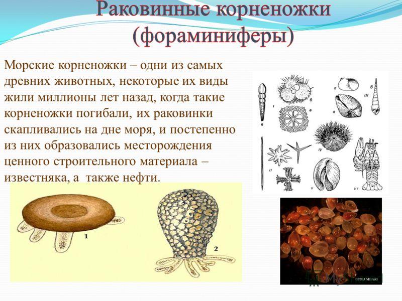 Морские корненожки – одни из самых древних животных, некоторые их виды жили миллионы лет назад, когда такие корненожки погибали, их раковинки скапливались на дне моря, и постепенно из них образовались месторождения ценного строительного материала – и