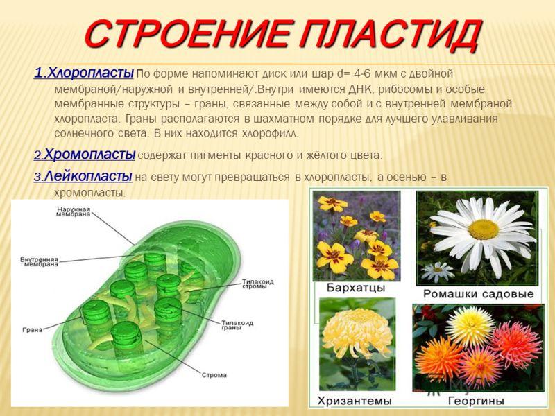 СТРОЕНИЕ ПЛАСТИД 1.Хлоропласты п о форме напоминают диск или шар d= 4-6 мкм с двойной мембраной/наружной и внутренней/.Внутри имеются ДНК, рибосомы и особые мембранные структуры – граны, связанные между собой и с внутренней мембраной хлоропласта. Гра
