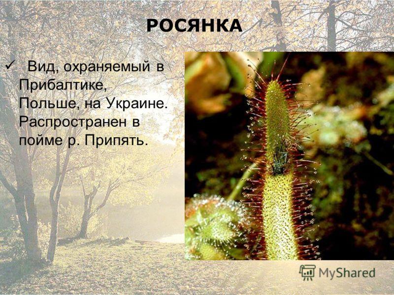 РОСЯНКА Вид, охраняемый в Прибалтике, Польше, на Украине. Распространен в пойме р. Припять.