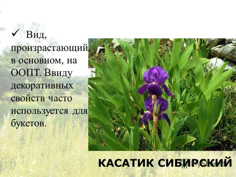 КАСАТИК СИБИРСКИЙ Вид, произрастающий, в основном, на ООПТ. Ввиду декоративных свойств часто используется для букетов.
