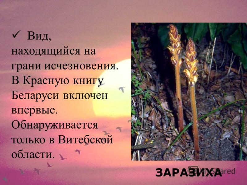 ЗАРАЗИХА Вид, находящийся на грани исчезновения. В Красную книгу Беларуси включен впервые. Обнаруживается только в Витебской области.