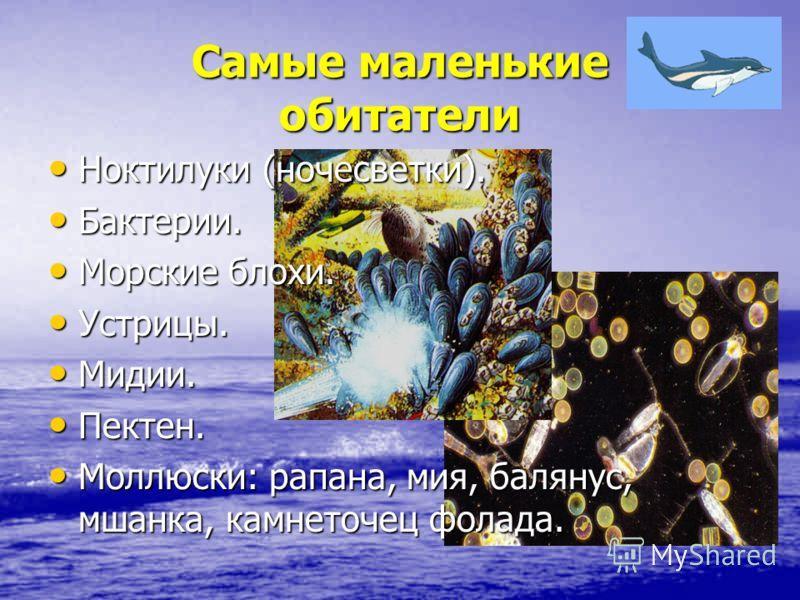 Самые маленькие обитатели Ноктилуки (ночесветки). Ноктилуки (ночесветки). Бактерии. Бактерии. Морские блохи. Морские блохи. Устрицы. Устрицы. Мидии. Мидии. Пектен. Пектен. Моллюски: рапана, мия, балянус, мшанка, камнеточец фолада. Моллюски: рапана, м