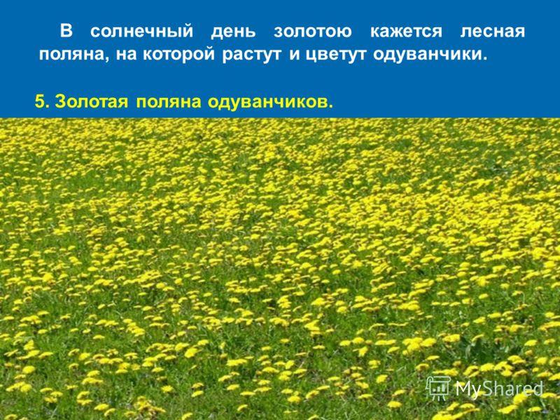 В солнечный день золотою кажется лесная поляна, на которой растут и цветут одуванчики. 5. Золотая поляна одуванчиков.