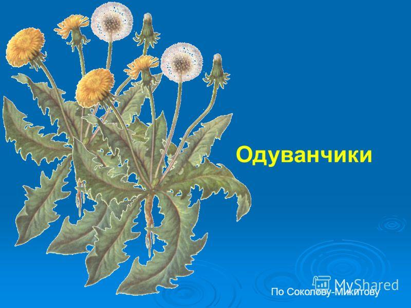 Одуванчики По Соколову-Микитову