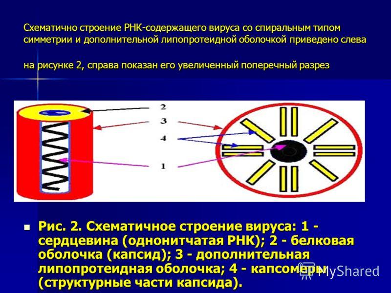 Схематично строение РНК-содержащего вируса со спиральным типом симметрии и дополнительной липопротеидной оболочкой приведено слева на рисунке 2, справа показан его увеличенный поперечный разрез Рис. 2. Схематичное строение вируса: 1 - сердцевина (одн