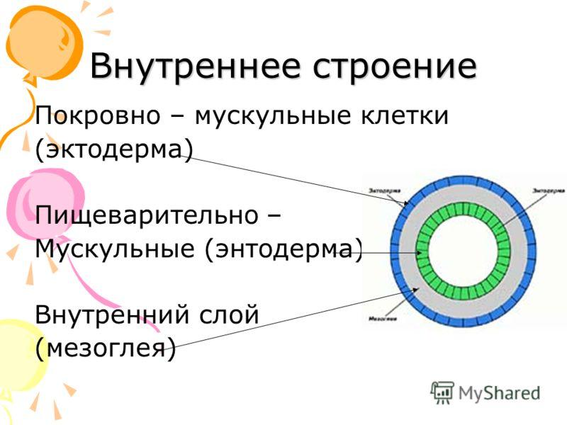 Внутреннее строение Покровно – мускульные клетки (эктодерма) Пищеварительно – Мускульные (энтодерма) Внутренний слой (мезоглея)
