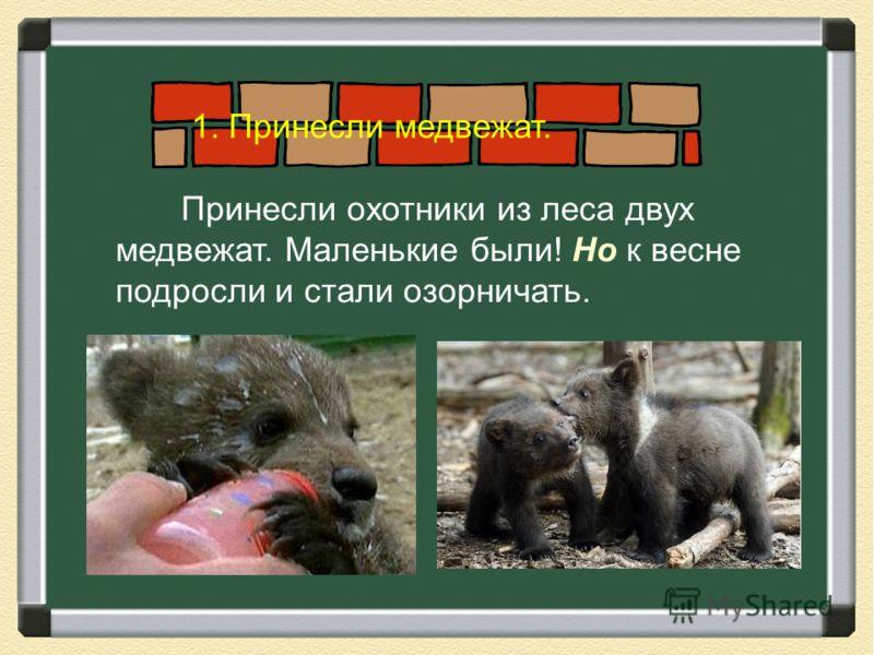 Принесли охотники из леса двух медвежат. Маленькие были! Но к весне подросли и стали озорничать. 1. Принесли медвежат.