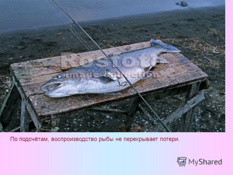 По подсчётам, воспроизводство рыбы не перекрывает потери.