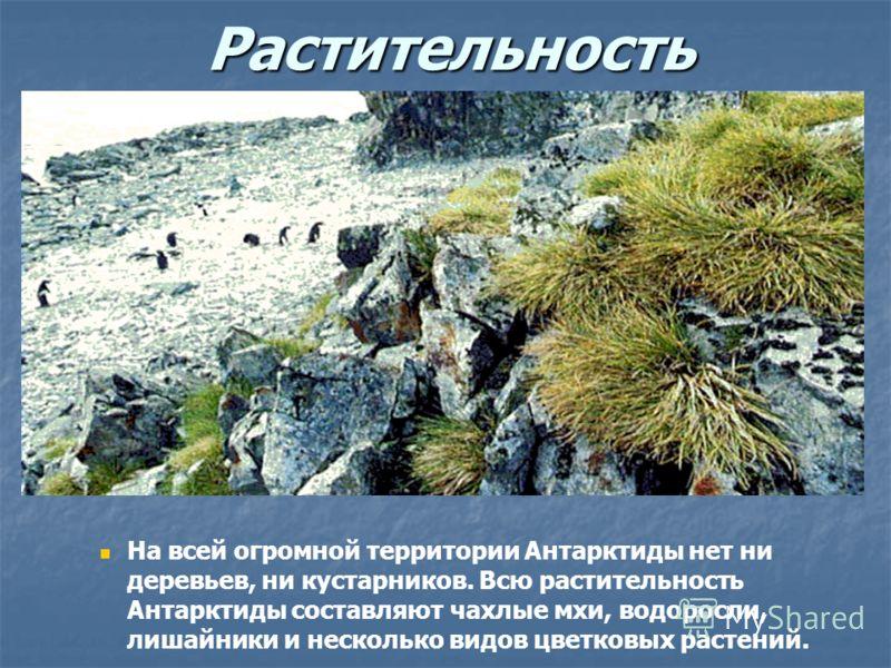 Растительность На всей огромной территории Антарктиды нет ни деревьев, ни кустарников. Всю растительность Антарктиды составляют чахлые мхи, водоросли, лишайники и несколько видов цветковых растений.