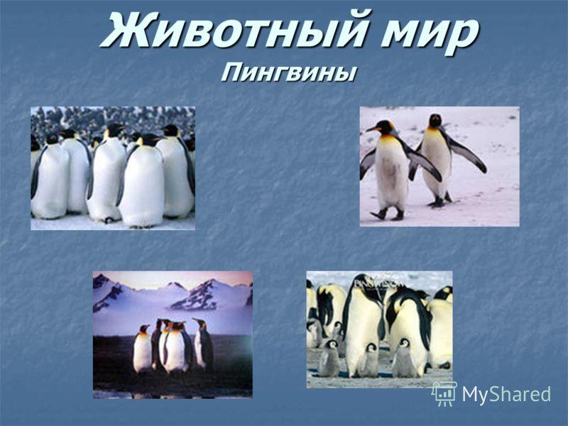 Животный мир Пингвины
