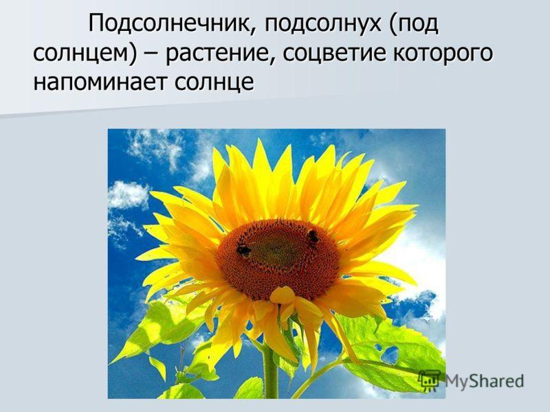 Подсолнечник, подсолнух (под солнцем) – растение, соцветие которого напоминает солнце