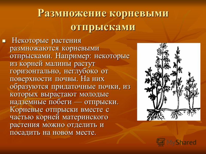 Размножение корневыми отпрысками Некоторые растения размножаются корневыми отпрысками. Например: некоторые из корней малины растут горизонтально, неглубоко от поверхности почвы. На них образуются придаточные почки, из которых вырастают молодые надзем