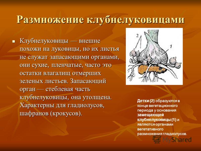 Размножение клубнелуковицами Клубнелуковицы внешне похожи на луковицы, но их листья не служат запасающими органами, они сухие, пленчатые, часто это остатки влагалищ отмерших зеленых листьев. Запасающий орган стеблевая часть клубнелуковицы, она утолще