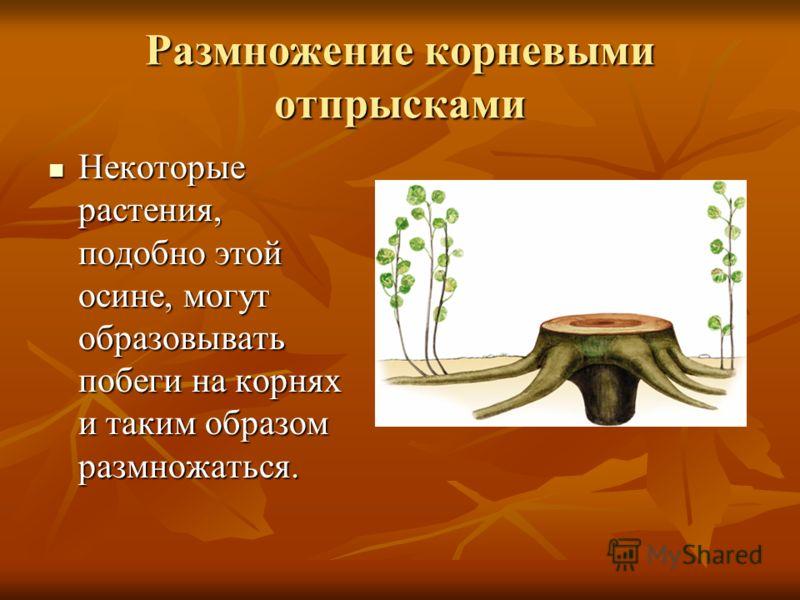 Размножение корневыми отпрысками Некоторые растения, подобно этой осине, могут образовывать побеги на корнях и таким образом размножаться. Некоторые растения, подобно этой осине, могут образовывать побеги на корнях и таким образом размножаться.
